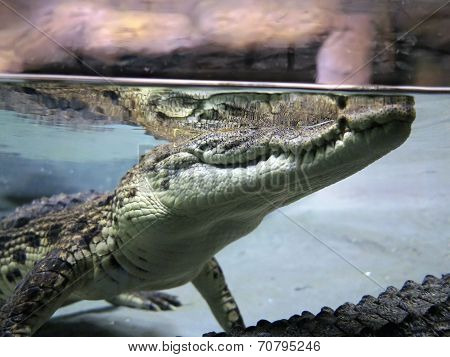Close-up Of A Crocodile In Natural Environment, View From Water