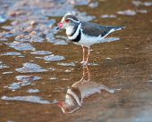 Three banded plover standing in shallow water with its reflection poster