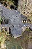 American Alligator (alligator mississippiensis) basking in the sun in the Florida Everglades poster