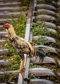 One chicken standing on a railway track poster