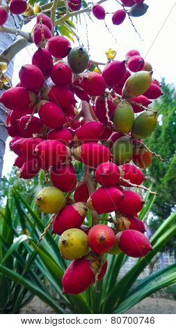 Close Up Ripen Fruit Of Lipstick Palm Or Sealing-wax Palm Or Raja Palm Under Sunlight