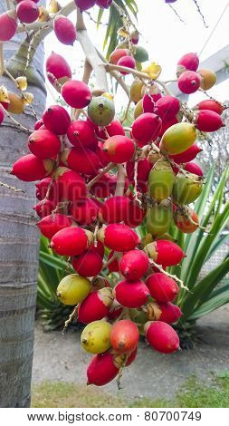close up ripen fruit of lipstick palm or sealing-wax palm or raja palm under sunlight poster