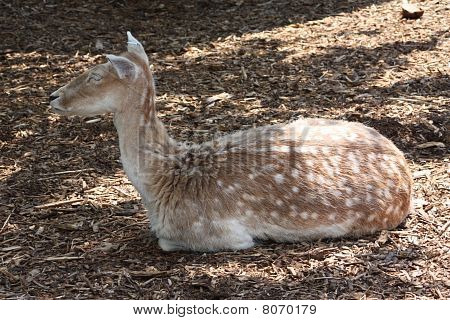 A nice deer relaxing at the zoo. poster