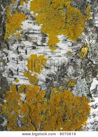 Texture of Nature Tree bark background closeup poster