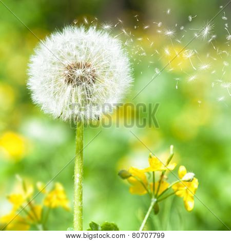 bright dandelion with flying seeds. spring season