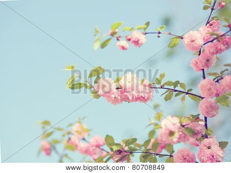 Branch with beautiful pink flowers against the blue sky. Amygdalus triloba. very shallow depth of field, focus on central branch. Toned image.