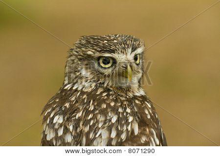 Liitle Owl