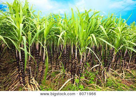 Sugar cane plantation. Khanh Hoa province. Vietnam poster