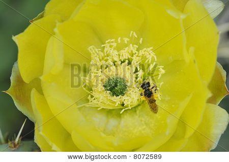 Insekt auf eine Kaktusblüte