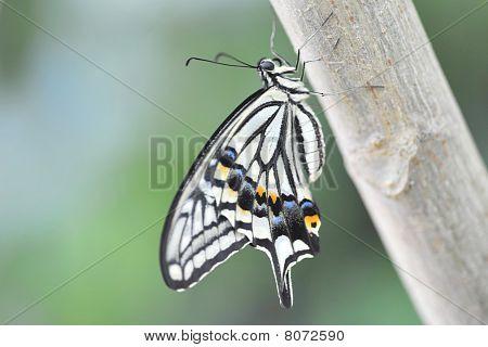 Papilio Schmetterling
