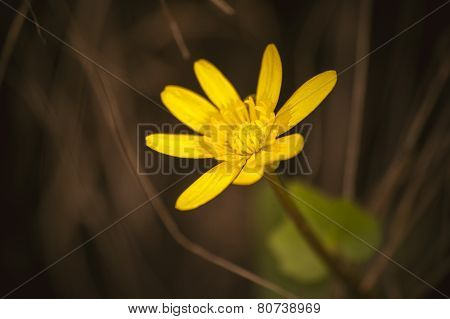 Wild Yellow Spring Flowers Primrose