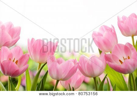 Fresh pink tulip flowers