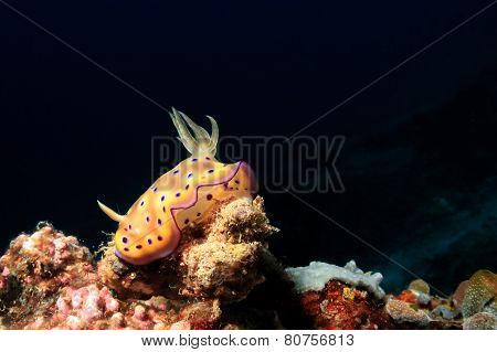 Colorful Nudibranch on a tropical reef