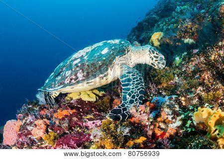 Hawksbill Turtle At Batu Balong, Komodo.
