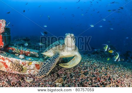Turtle (green Sea Turtle) And Other Fish On A Tropical Reef On A Dark Afternoon