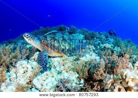 Green Turtle.  Han's Reef.  Gili Air