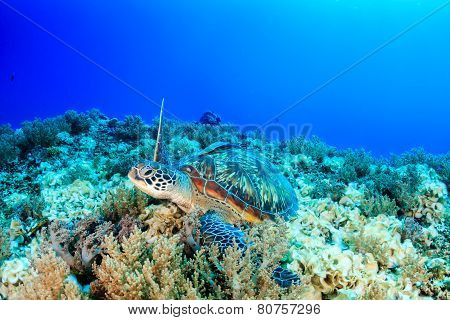 Green Turtle on a coral reef