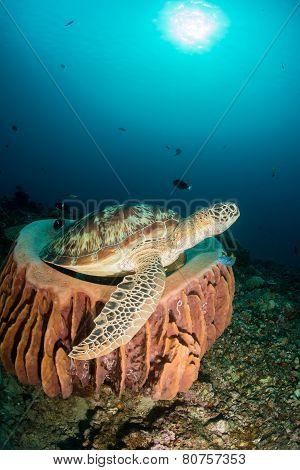 Green Turtle in a barrel sponge