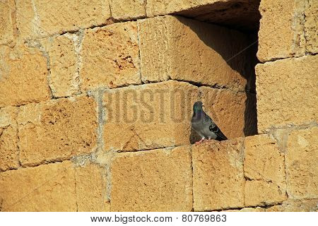 Pigeon on wall in Caesarea Maritima National Park