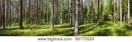 Panoramic view of conifer forest on a summer day