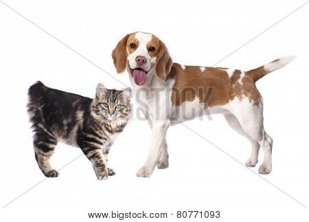 Cat and dog, Kuril Bobtail and beagle