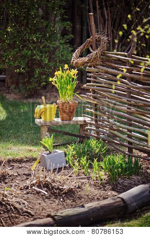 yellow narcissus in pot, osier wicker fence and tools in early spring garden