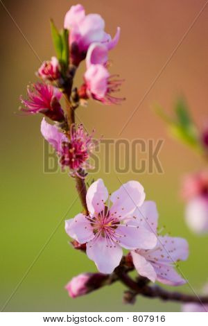 Peach Flower in Spring