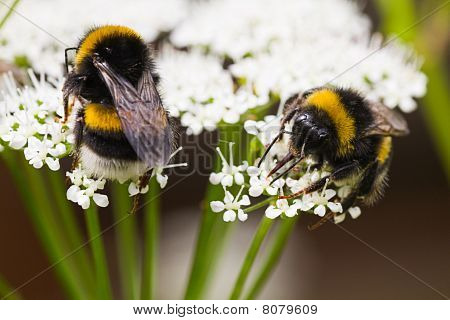 Bumble Bees Busy Gathering Nectar In Summer