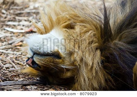 Relaxing Lion from Distance