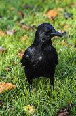 Black Crow standing in park at autumn poster
