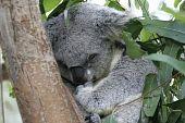 Koala sleeping in a Eucalyptus tree, Australia poster