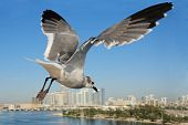 Seagull flying to the sky, Miami, Florida ,USA. poster