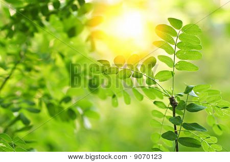 Acacia Leaves In Summer Sunshine