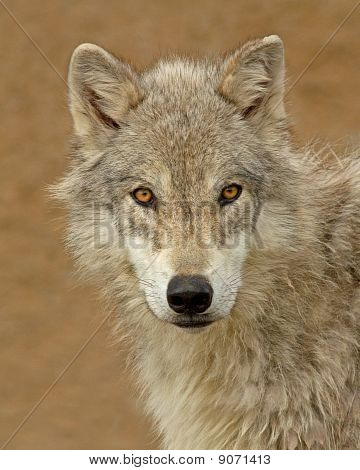 A Young Wolf's Piercing Eyes
