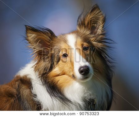One Shetland Sheepdog Shelti looks at camera with head tilted alert. Portrait of dog outside blurred background. poster