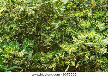 Total leaf