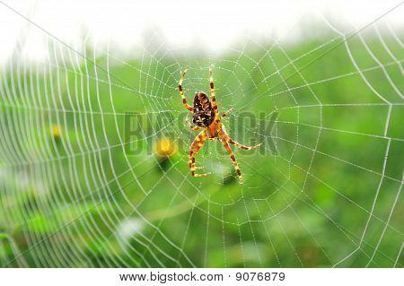 European Garden Spider (araneus Diadematus), Diadem Spider, Or Cross Spider