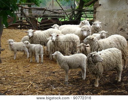 sheep a source of meat and wool picky animal common in Europe