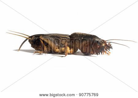 The mole crickets are the family Gryllotalpidae poster