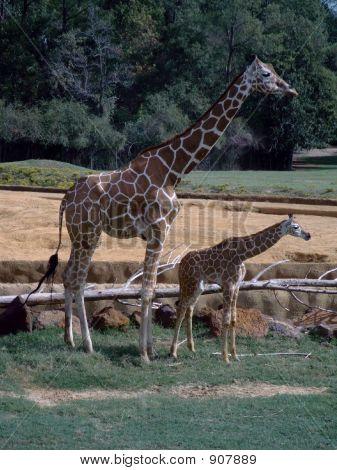 Giraffex2