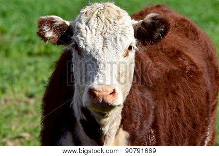 Bull front