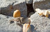Lonely sparrow over stones eating pieces of bread poster