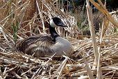 alert nesting canada goose poster
