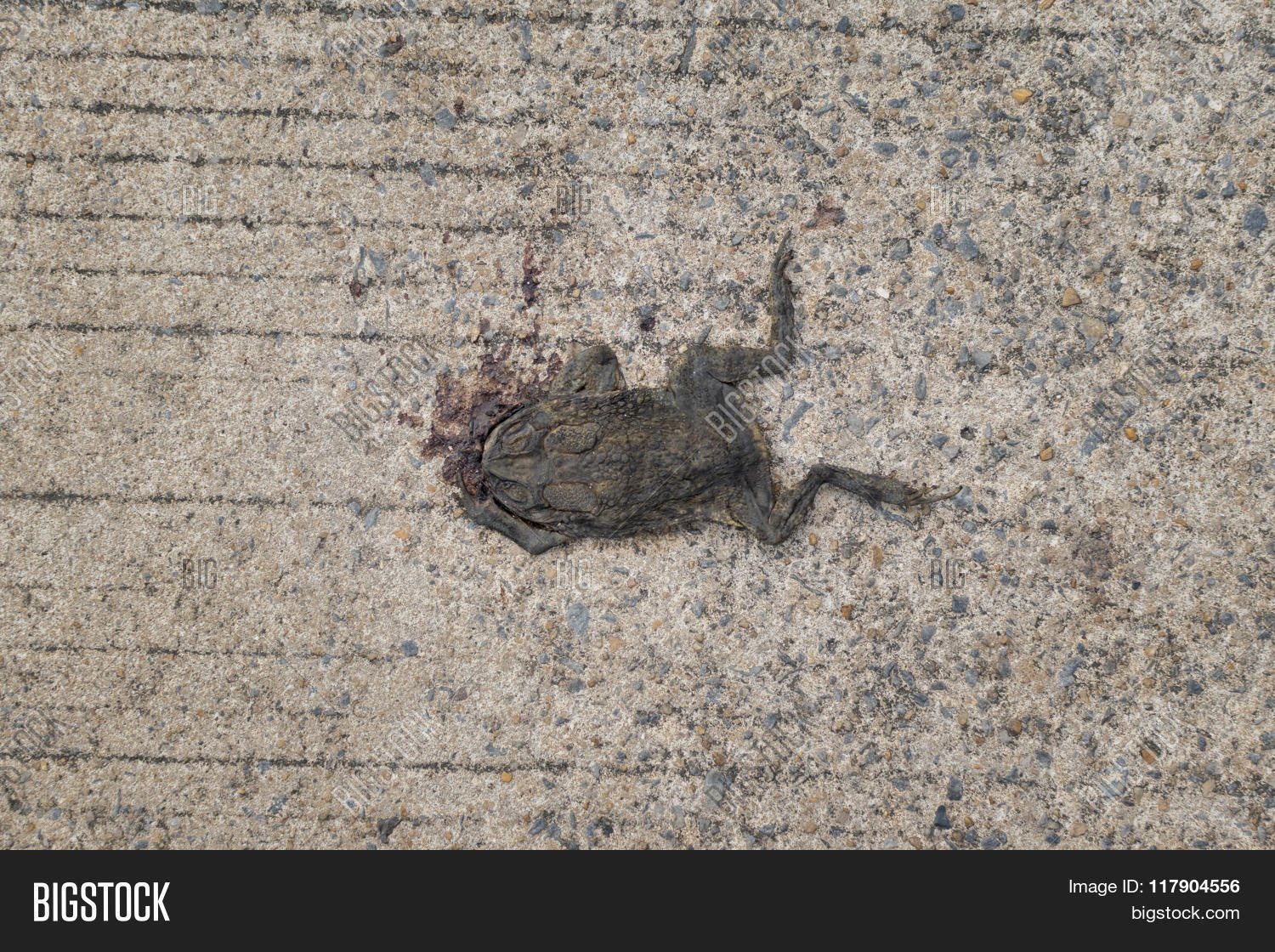 dead toad on road image photo free trial bigstock