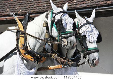 Pair of horses in harness. Switzerland