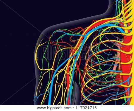 Medical Vector Illustration Of The Shoulder Anatomy With Nerves, Veins And Arteries, Etc.