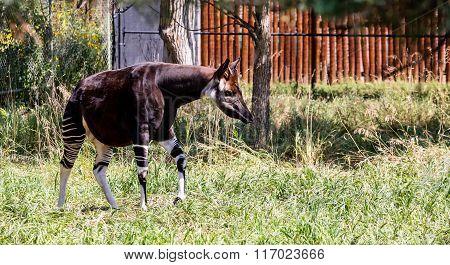 Okapi In Grass