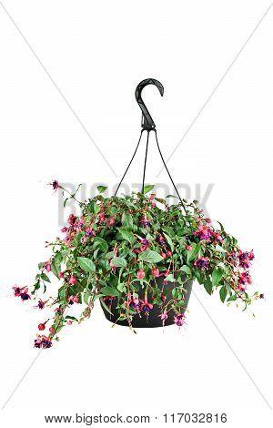Fuschia In A Hanging Pot
