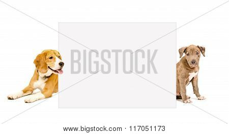 Pit bull puppy and Beagle dog peeking from behind poster