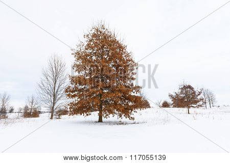 Oak Tree with Colorful Leaves in Snowy Field